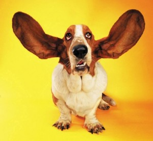 basset-hound-big-ears